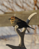 RUSTY BLACKBIRD / QUISCAL ROUILLEUX