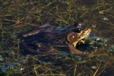 Grenouille avec les yeux noirs / Frog with black eyes