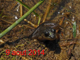 Frogs with melanic iris / Black eyed frog