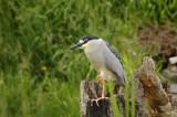 Nycticorax nycticorax / BIHOREAU GRIS / Black crowned night heron