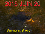 GRENOUILLE AUX YEUX NOIRS / Black eyed frog