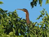 Green Heron / Héron vert (Butorides virescens) (Ardeidae)