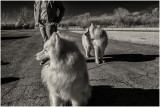 Samoyeds