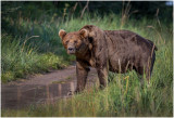 Large Male Brown Bear