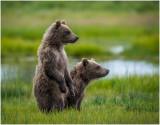 Spring Brown Bear Cubs On Alert