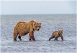 Brown Bears Clamming