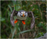 Horned Puffin Take Off