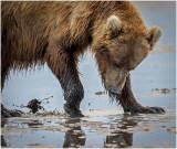 Brown Bear clamming on Mud Flats