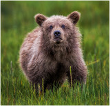 Brown Bear Cub, Sniffing out the Human
