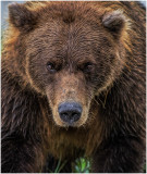 Brown Bear Stare Down