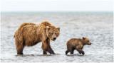 Clamming Brown Bear and Cub