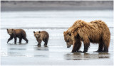 Clamming Brown Bear and Cubs