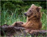 Brown Bear with Nursing Cubs