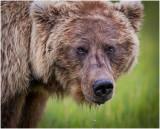 Brown Bear Up Close
