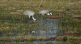 Sandhill Cranes /   Florida