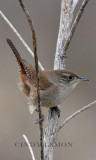 Wrens, Kinglets and Gnatcatchers of Southeastern US