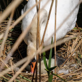 Another visit to the Swans nest