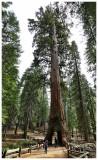 Mariposa Grove of Sequoia