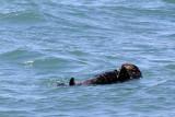 Sea otter, taking five 0466