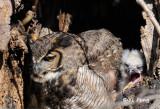 Owl, Harris's Hawk, Falcon