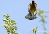 Waxwing - Towhee - Robin - thrush