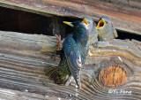 Blackbird, grackle, Cowbird, Grosbeak, Starling, turkey_vulture