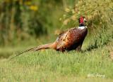 Pheasant, Rail and Sandpiper