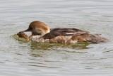 Duck,Merganser, Swan, Geese