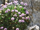 Lomelosia variifolia