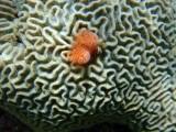 HERSENKORAAL - Depressed Brain Coral - Koral di sesu