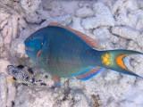 PRINSES PAPEGAAIVIS - Princess Parrotfish - Gutu rabu di gai (machu) i Gutu raton (muhė)