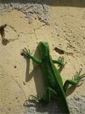 GROENE LEGUAAN - Green Iguana - Yuana