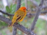SAFFRAANVINK - Saffron Finch
