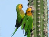 WEST-INDISCHE PARKIET - Caribbean or Brouwn-throated Parakeet - Prikichi
