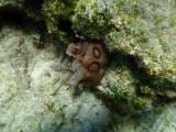 GERINGDE ZEEHAAS - Aplysiadactylomela - Sea hare -P9190208 (2).jpg