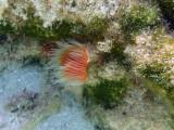 KOKERWORM - tube worm -P9190144 (1).jpg