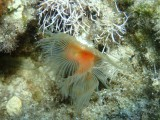 KOKERWORM - tube worm -P9190144 (2).jpg
