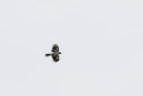 Black-backed Butcherbird (Cracticus mentalis)