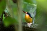 New Britain Dwarf Kingfisher (Ceyx sacerdotis)