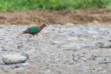 Stephan's Emerald Dove (Chalcophaps stephani)