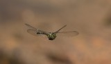 Dragonflies / Trollsländor