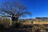 Boab Tree D80_1387s.jpg