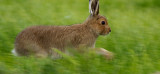 Hare on the move