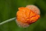 Poppy part II
