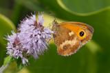 Gatekeeper on flowering mint
