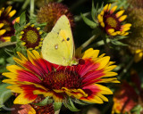 A clouded yellow