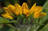 Sun flower in the sun