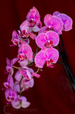 A display of  Orchid flowers