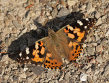 Painted Lady JL12 #4694