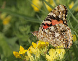 Painted Lady JL12 #4686